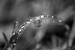 bending under pressure. (coral staley-hall) Tags: bw macro water monochrome grass closeup contrast canon dark beads drops dof bokeh dew 28 60mm bladeofgrass canonrebelxti gettindirty coralstaleyhall