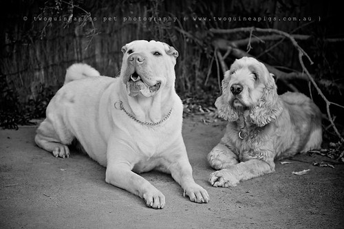 Lucy the Shar Pei and Buddy the Cocker Spaniel by twoguineapigs pet photography dog photographer