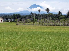 Aceh ricefield (Mangiwau) Tags: mountain field sumatra indonesia banda volcano airport rice paddy harvest peak governor fields ready padi gunung aceh ricefield partai api nasi ripe beras yusuf sawar seulawah seulaweh irwandi