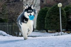 Denzel the Malamute (Wolfhowl) Tags: france fun alaskanmalamute winter chamonix chamonixmontblanc kawaii dog denzel cute puppy mountains malamute