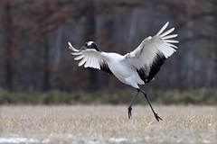 A red-crowened crane: a principal dancer ? (takashimuramatsu) Tags: grus japonensis redcrowened crane dance dancing dancer tsurui hokkaido nikon d810 japan タンチョウ 鶴