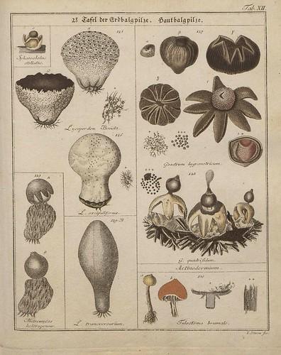 Das System der Pilze und Schwämme, 1817 c