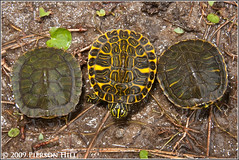 The World S Best Photos Of Cooter And Turtle Flickr Hive