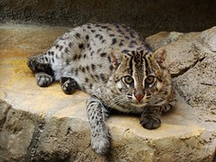 Fishing cat (muzina_shanghai) Tags: animal artistic fishingcat tennojizoo specanimal  osakamunicipaltennojizoo prionailurusviverrinus mywinners  vosplusbellesphotos myzoology
