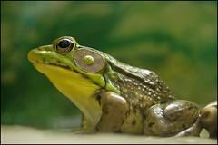 Male American Bullfrog