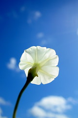 flor do cu (Fabiana Velso) Tags: sol flor dia cu branca ptalas duetos frenteafrente fabianavelso