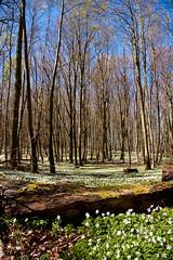 Buschwindröschen im Wald bei Binz (DerWusti) Tags: deutschland urlaub rügen ostsee deu frühling binz mecklenburgvorpommern rgen frhling granitzhof