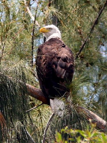 Adult Roosting 2-20090525