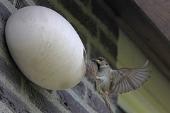 male house sparrow (Passer Domesticus) (crijnfotin) Tags: nederland sparrow mus housesparrow passerdomesticus current helmond huismus canonef300mmf4lisusm 14teleconverter