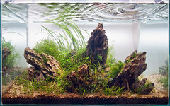My 60cm Red Cherry Shrimp Planted Iwagumi Aquarium - 4/6/2009 (Stu Worrall Photography) Tags: plants fish stone aquarium ada dragon tank stu co2 aquascape plantedtank planted plantedaquarium worrall stuworrall iwagumi greataquascapes