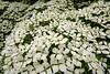 Carpet of flowers, Cornus florida, Westonbirt Arboretum (smir_001) Tags: flowers trees summer plants white tree june carpet florida arboretum westonbirt bloom cornus cornusflorida