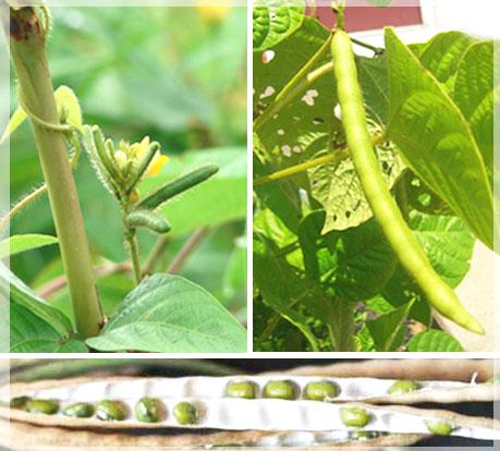 旅豆 五穀雜糧 健康養生