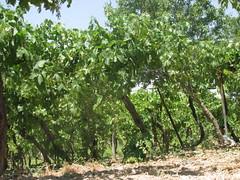 كروم العنب في الخليل (HanadiTalk) Tags: تاريخ عنب فلسطين القدس زراعة تراث الخليل كروم