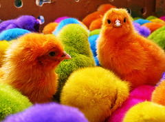 La pollera colora' (Alfonsina Blyde ) Tags: our color chicken colors colorful colores pollo pollos nuggets worl xd colorido in piopio pollitos