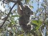 wild koala, magnetic island