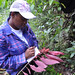 Royal Botanic Gardens at Hope: expedition member studies a colorful endemic Gesneriad species