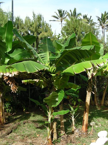banana tree definition/meaning | English picture ...