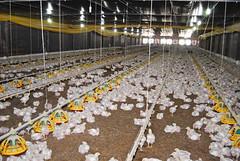 Criadouro de galináceos (Saulo Cruz) Tags: minasgerais rural de little breeding poultry bichos chiken criação galinhas pintinhos galos pintos uberlândia galináceos criadouro saulocruz