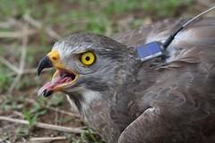 繫上發報器的「海角5號」灰面鵟鷹(台灣猛禽研究會提供)