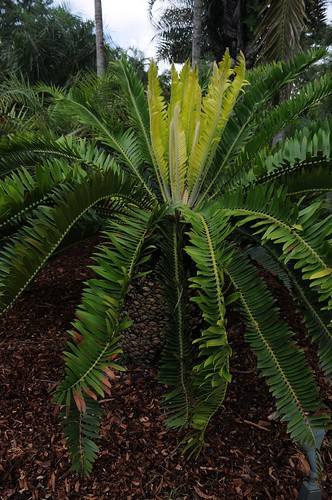 encephalartos manikensis4