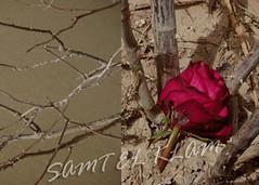 `.. (SAMT EL KLAM . QTR) Tags: rose soil twigs wilt