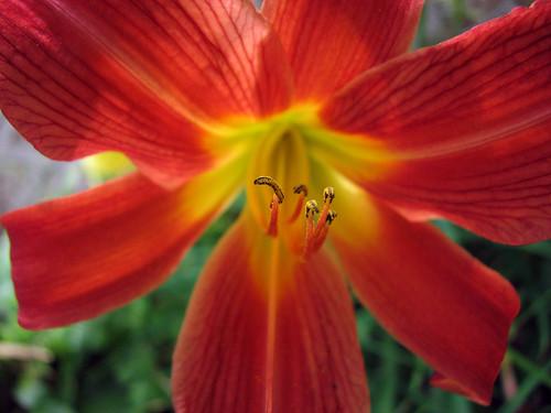 Bright Orange Lily