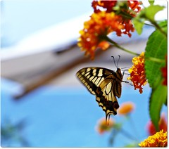 ~*~the summer flight on the wings of a butterfly~*~ (Ev@ ;-)) Tags: flowers blue summer macro butterfly seaside colours explore gaeta seasideresort papiliomachaon macaone papardo sempreleilamiaprimafarfalla imhappytosmilethecolorsmusicopenairandweallyesiseasy