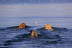 ~V-Dogs~FP (mikenpo) Tags: lake dogs swimming canon ball peak idaho explore v lucky frontpage fetch mikenpo togetheragainfpcoolxoxo