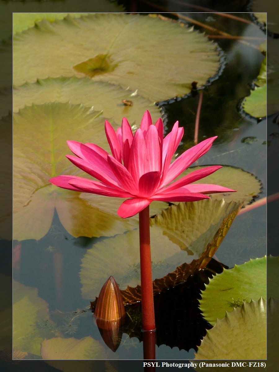 Blossoming Water Lilly
