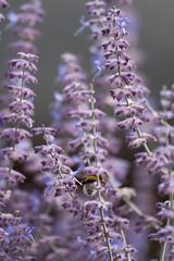 Parc Floral - Vincennes-53 (MissDogo) Tags: paris macro fleur closeup animaux parc insectes vincennes parcfloral bourdon proxyphoto hym hyménoptères hymnoptres