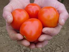 slicing_tomato