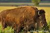 ADS_USA_000004763 (dickysingh) Tags: travel usa india west buffalo tour outdoor roadtrip aditya bison singh grandtetonnationalpark americanbison dicky adityasingh ranthamborebagh theranthambhorebagh wwwranthambhorecom