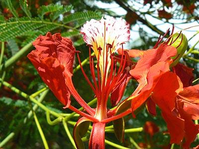 fleur de flamboyant.jpg