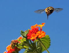 Target locked (Theophilos) Tags: sky flower nature insect bee greece 1001nights