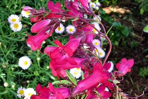 Penstemon 'Firebird' (rq) - 02