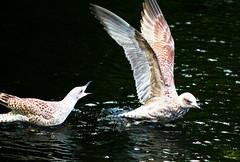 Shoo ! (Steve-h) Tags: ireland dublin canon eos wings duckpond ststephensgreen 500d gullls steveh platinumheartaward canonf28100mmusmmacrolens
