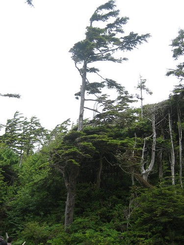 Trees shaped by the wind