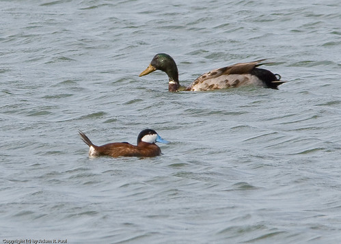 "Ruddy Duck & ""mutt"" Mallard by you."