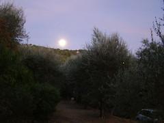 20090904 - Friday Olive Tree Blogging