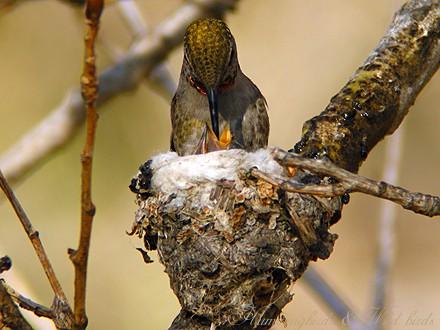 Anna's Hummingbird nest baby f02091-5