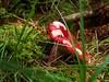 Aminita Muscaria (lkewis) Tags: scotland fly agaric caithness muscaria aminita