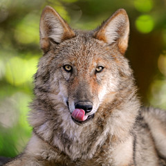Young and hungry (Tambako the Jaguar) Tags: portrait dog brown cute beautiful face tongue nose zoo switzerland nikon wolf eyecontact close serious zurich young fluffy canine lick loup zrich lupus impressive mongolian d300 canis canid specanimal impressedbeauty vosplusbellesphotos