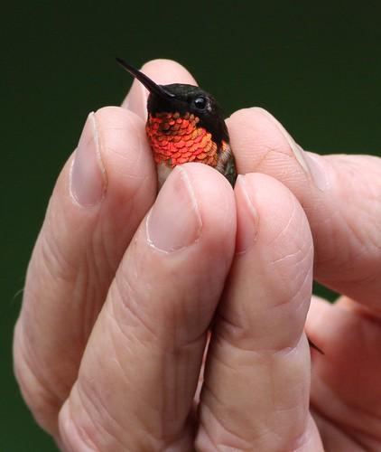Hummingbird banding