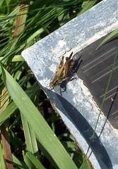 Grasshoper_91309c
