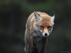 volpe #2 (Andrea Rapisarda) Tags: wood wild animal fox etna bosco gmt volpe fourthird quattroterzi rapis60 andrearapisarda olympuse620 serralanave