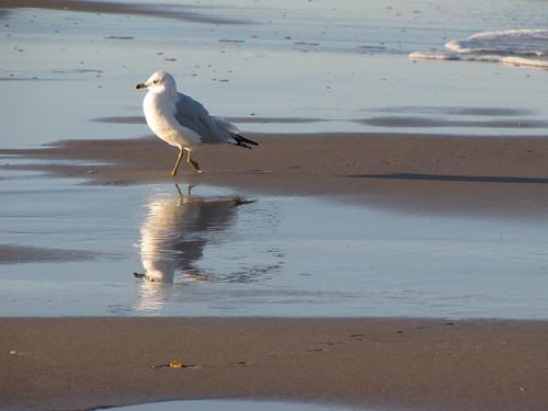Scape Seagull