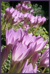 Autumn Crocus Crowd (arrowlakelass) Tags: flowers garden soe colchicum perennials liliaceae meadowsaffron autumncrocus autumnale colchicumautumnale mywinners img1564