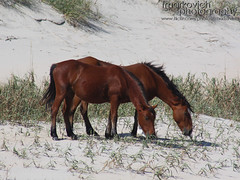 Horses on the Beach (Frank Markovich) Tags: horses lighthouse beautiful duck nc sandy sandbar northcarolina nagshead surfboard beaches mustang outerbanks corolla corrolla corova hateras
