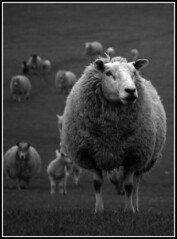 Sheep B&W (eztobyd) Tags: blackandwhite bw monochrome field photo fuji sheep monotone finepix duotone desaturated s5500 fujis5500 thelittledoglaughed top20spring eztobyd tobydonaldson