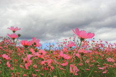 Cosmos Field (HW.Wang) Tags: sky mountain flower field clouds cosmos hdr   platinumheartaward platinumpeaceaward